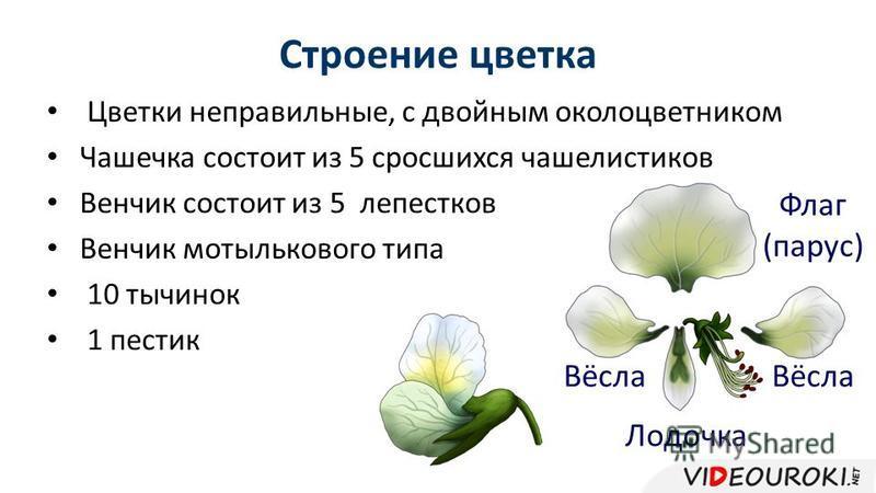 Строение цветка Цветки неправильные, с двойным околоцветником Чашечка состоит из 5 сросшихся чашелистиков Венчик состоит из 5 лепестков Венчик мотылькового типа 10 тычинок 1 пестик Флаг (парус) Вёсла Лодочка