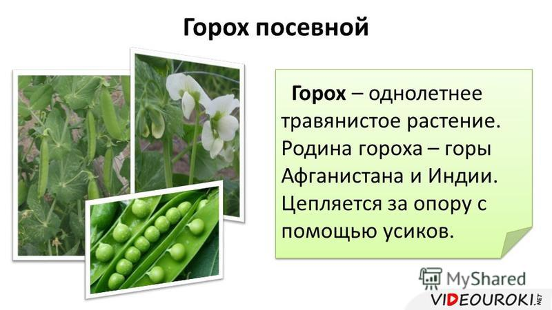 Горох посевной Горох – однолетнее травянистое растение. Родина гороха – горы Афганистана и Индии. Цепляется за опору с помощью усиков. Горох – однолетнее травянистое растение. Родина гороха – горы Афганистана и Индии. Цепляется за опору с помощью уси