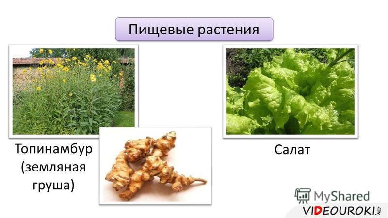 Пищевые растения Топинамбур (земляная груша) Салат