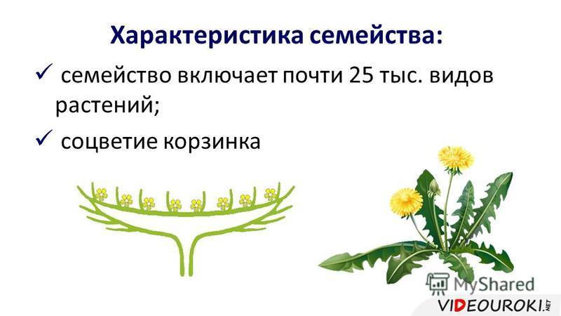 Характеристика семейства: семейство включает почти 25 тыс. видов растений; соцветие корзинка