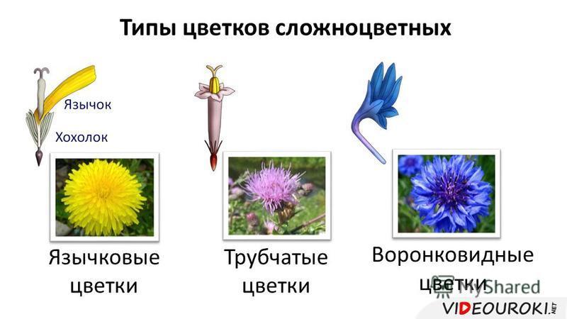 Типы цветков сложноцветных Язычковые цветки Трубчатые цветки Воронковидные цветки