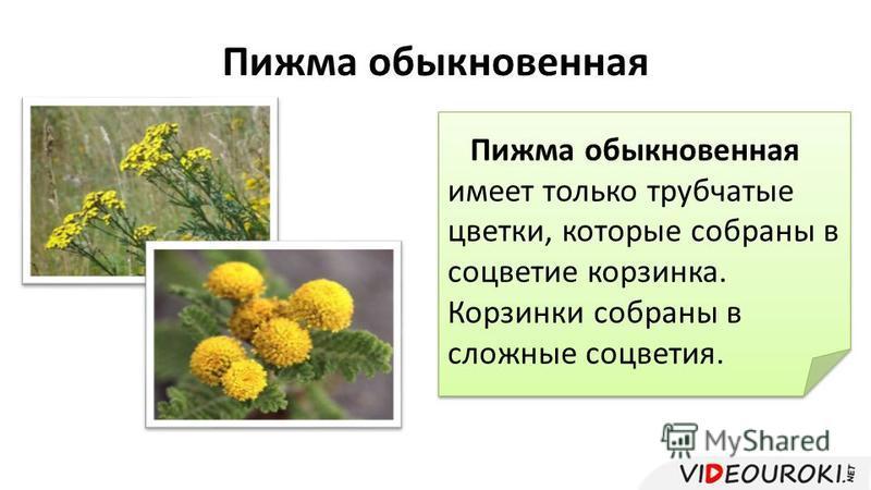 Пижма обыкновенная Пижма обыкновенная имеет только трубчатые цветки, которые собраны в соцветие корзинка. Корзинки собраны в сложные соцветия.
