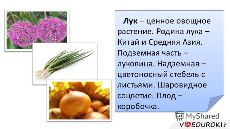 Лук – ценное овощное растение. Родина лука – Китай и Средняя Азия. Подземная часть – луковица. Надземная – цветоносный стебель с листьями. Шаровидное соцветие. Плод – коробочка. Лук – ценное овощное растение. Родина лука – Китай и Средняя Азия. Подзе
