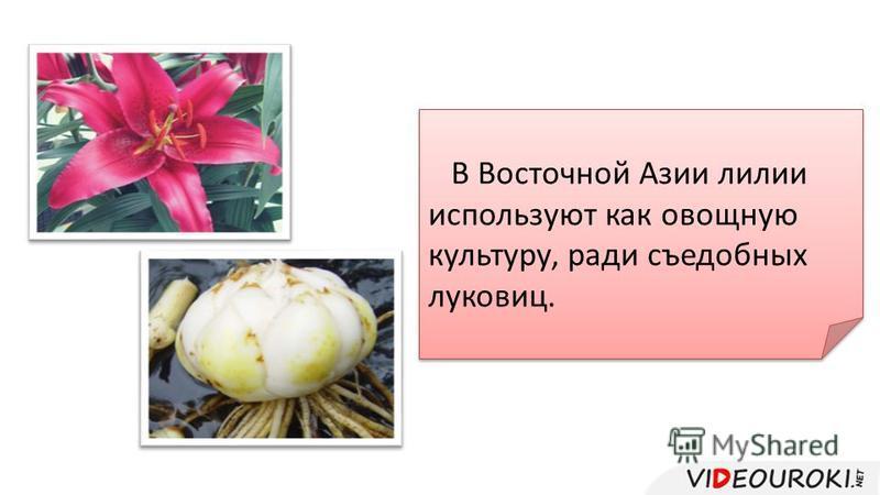 В Восточной Азии лилии используют как овощную культуру, ради съедобных луковиц.