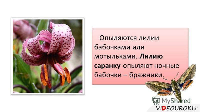Опыляются лилии бабочками или мотыльками. Лилию саранску опыляют ночные бабочки – бражники.