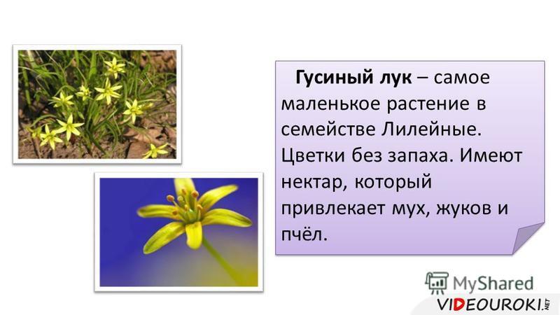 Гусиный лук – самое маленькое растение в семействе Лилейные. Цветки без запаха. Имеют нектар, который привлекает мух, жуков и пчёл.