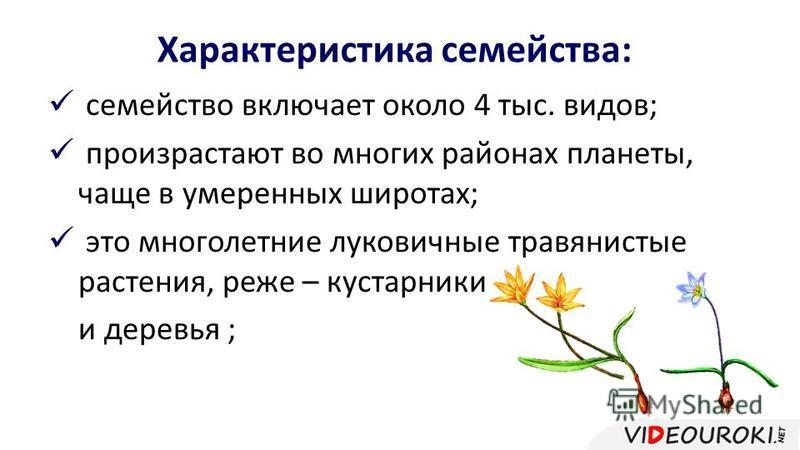 Характеристика семейства: семейство включает около 4 тыс. видов; произрастают во многих районах планеты, чаще в умеренных широтах; это многолетние луковичные травянистые растения, реже – кустарники и деревья ;