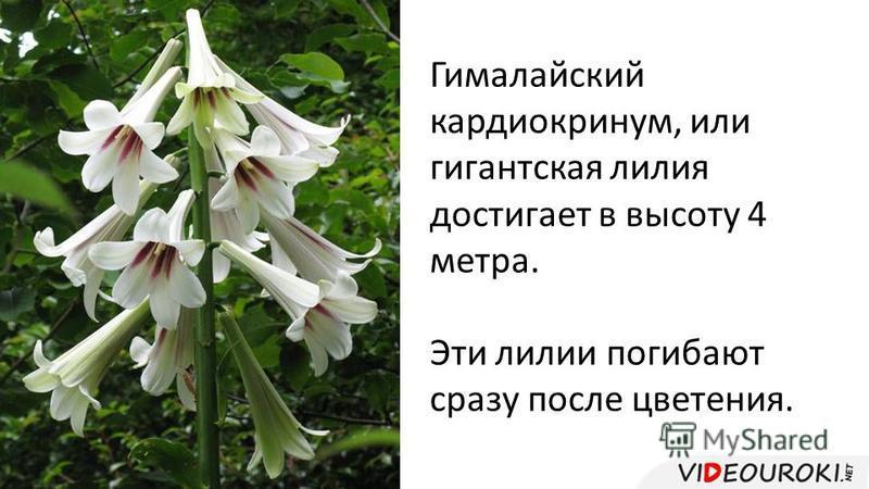 Гималайский кардиокринум, или гигантская лилия достигает в высоту 4 метра. Эти лилии погибают сразу после цветения.