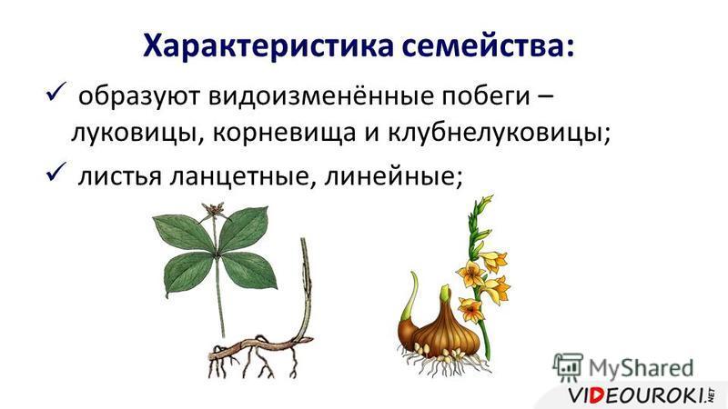 Характеристика семейства: образуют видоизменённые побеги – луковицы, корневища и клубнелуковицы; листья ланцетные, линейные;