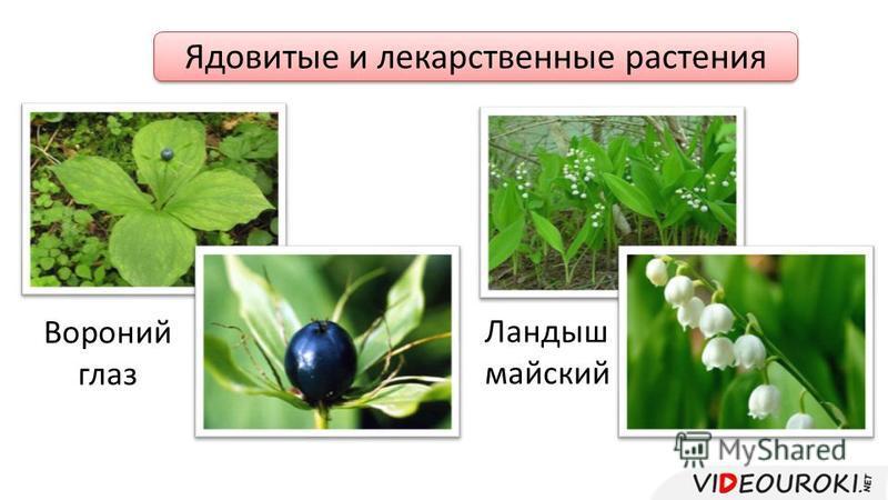 Ядовитые и лекарственные растения Вороний глаз Ландыш майский