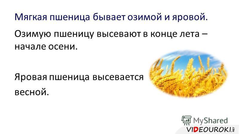 Мягкая пшеница бывает озимой и яровой. Озимую пшеницу высевают в конце лета – начале осени. Яровая пшеница высевается весной.