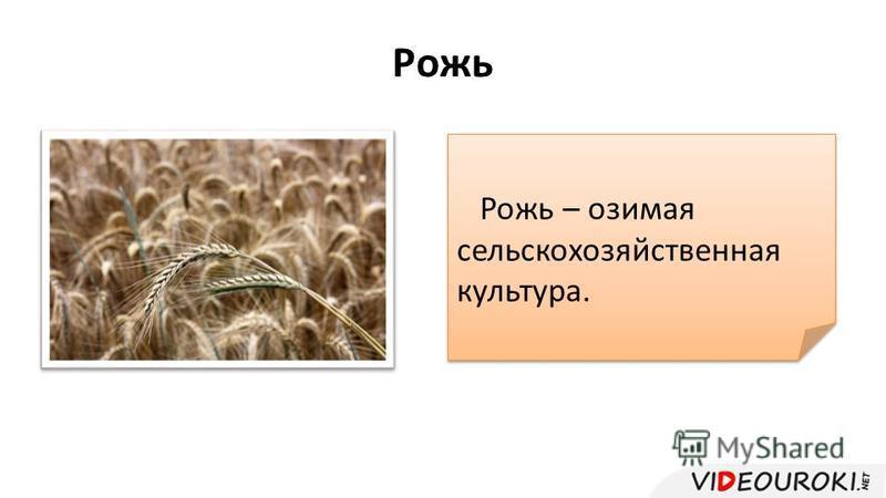 Рожь Рожь – озимая сельскохозяйственная культура.