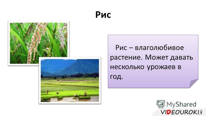 Рис Рис – влаголюбивое растение. Может давать несколько урожаев в год.