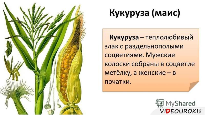 Кукуруза (маис) Кукуруза – теплолюбивый злак с раздельнополыми соцветиями. Мужские колоски собраны в соцветие метёлку, а женские – в початки.