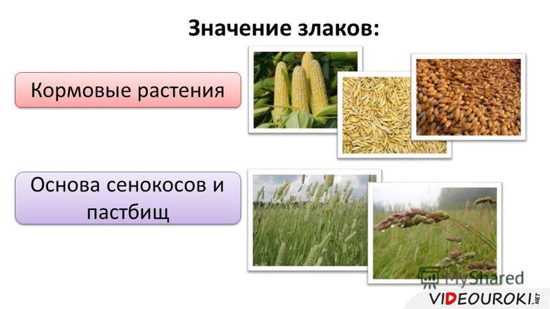 Значение злаков: Кормовые растения Основа сенокосов и пастбищ