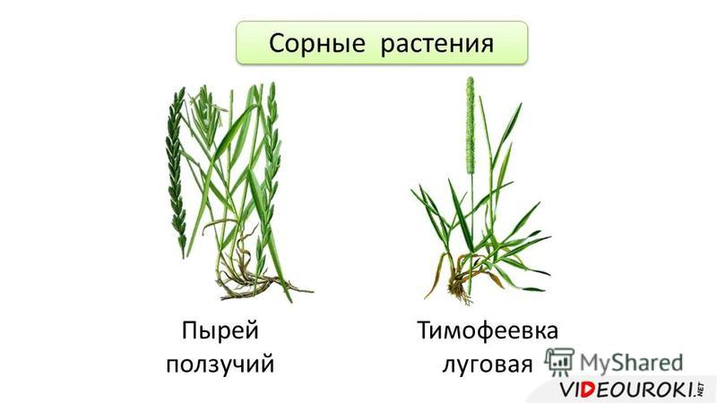 Сорные растения Пырей ползучий Тимофеевка луговая