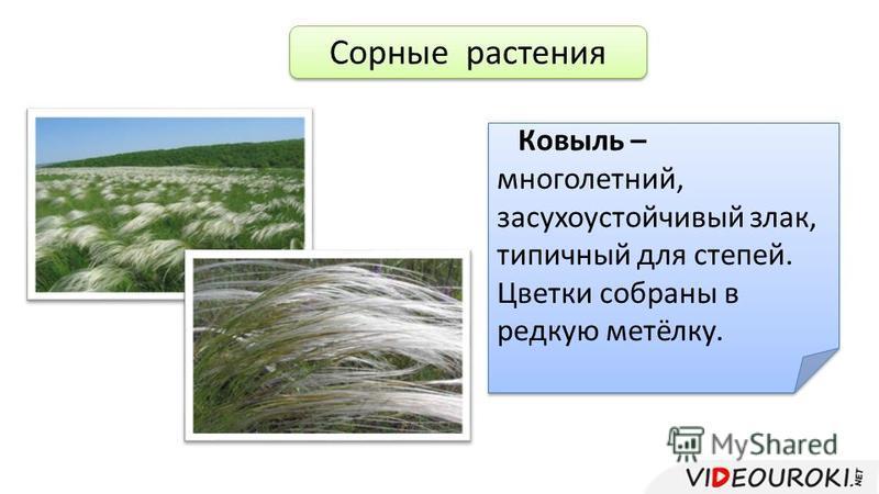 Сорные растения Ковыль – многолетний, засухоустойчивый злак, типичный для степей. Цветки собраны в редкую метёлку.