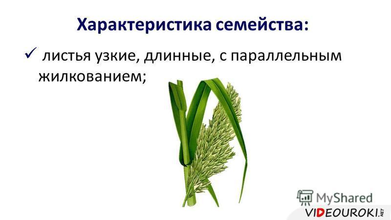 листья узкие, длинные, с параллельным жилкованием; Характеристика семейства: