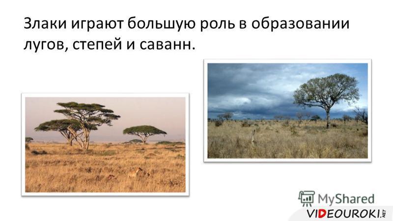 Злаки играют большую роль в образовании лугов, степей и саванн.