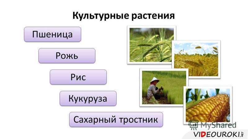 Пшеница Рожь Кукуруза Сахарный тростник Рис Культурные растения