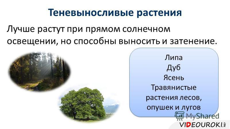 Лучше растут при прямом солнечном освещении, но способны выносить и затенение. Теневыносливые растения Липа Дуб Ясень Травянистые растения лесов, опушек и лугов Липа Дуб Ясень Травянистые растения лесов, опушек и лугов