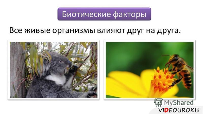 Биотические факторы Все живые организмы влияют друг на друга.