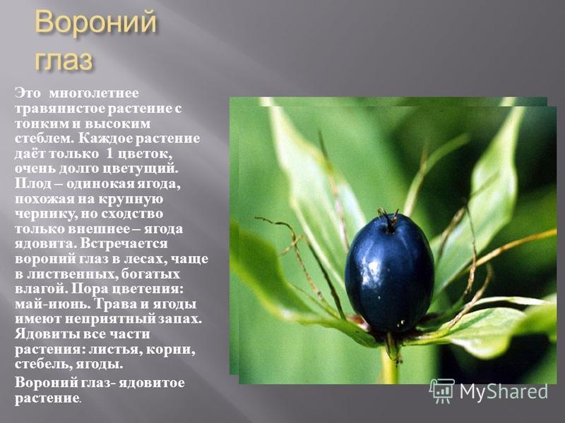 Вороний глаз Это многолетнее травянистое растение с тонким и высоким стеблем. Каждое растение даёт только 1 цветок, очень долго цветущий. Плод – одинокая ягода, похожая на крупную чернику, но сходство только внешнее – ягода ядовита. Встречается ворон