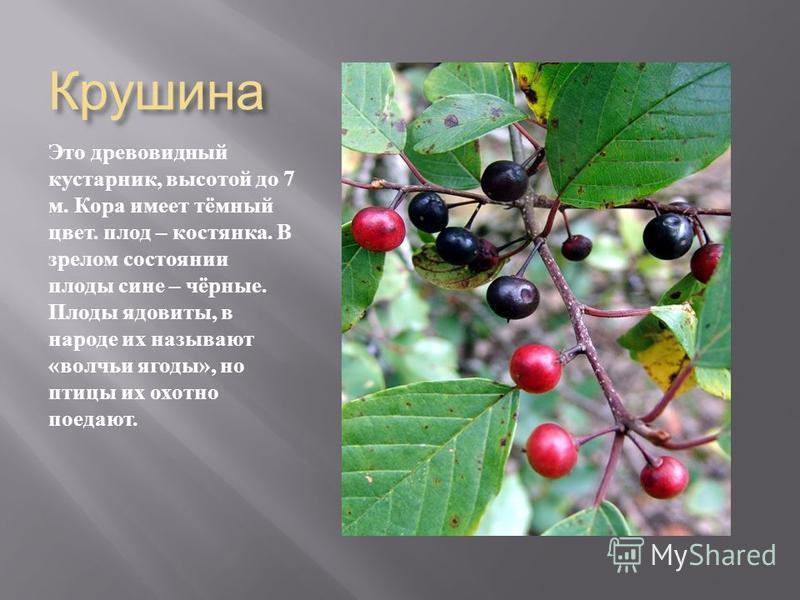 Крушина Это древовидный кустарник, высотой до 7 м. Кора имеет тёмный цвет. плод – костянка. В зрелом состоянии плоды сине – чёрные. Плоды ядовиты, в народе их называют « волчьи ягоды », но птицы их охотно поедают.