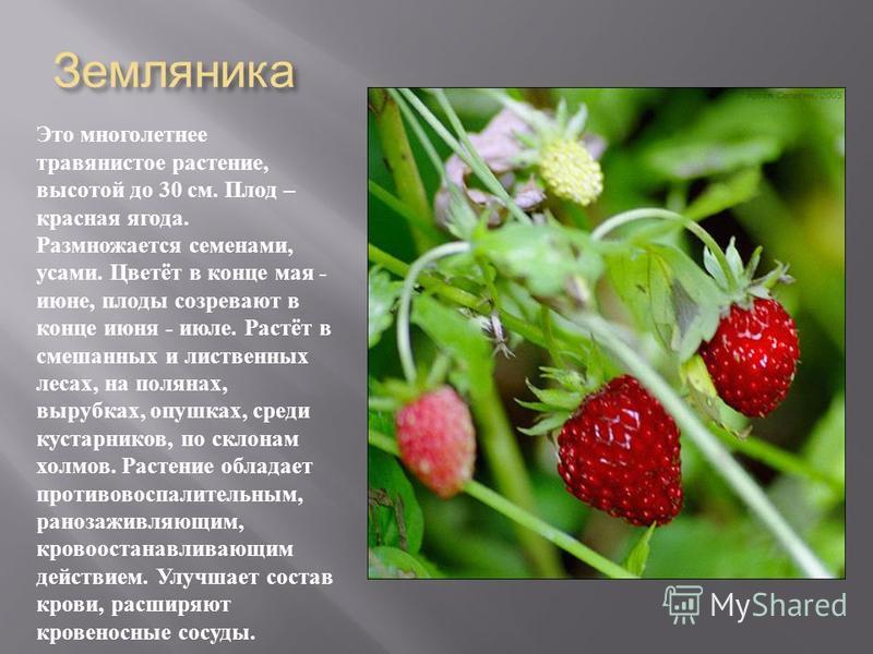 Земляника Это многолетнее травянистое растение, высотой до 30 см. Плод – красная ягода. Размножается семенами, усами. Цветёт в конце мая - июне, плоды созревают в конце июня - июле. Растёт в смешанных и лиственных лесах, на полянах, вырубках, опушках