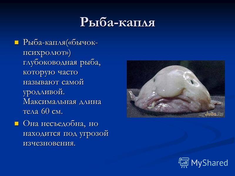 Рыба-капля Рыба-капля(«бычок- психролют») глубоководная рыба, которую часто называют самой уродливой. Максимальная длина тела 60 см. Она несъедобна, но находится под угрозой исчезновения.