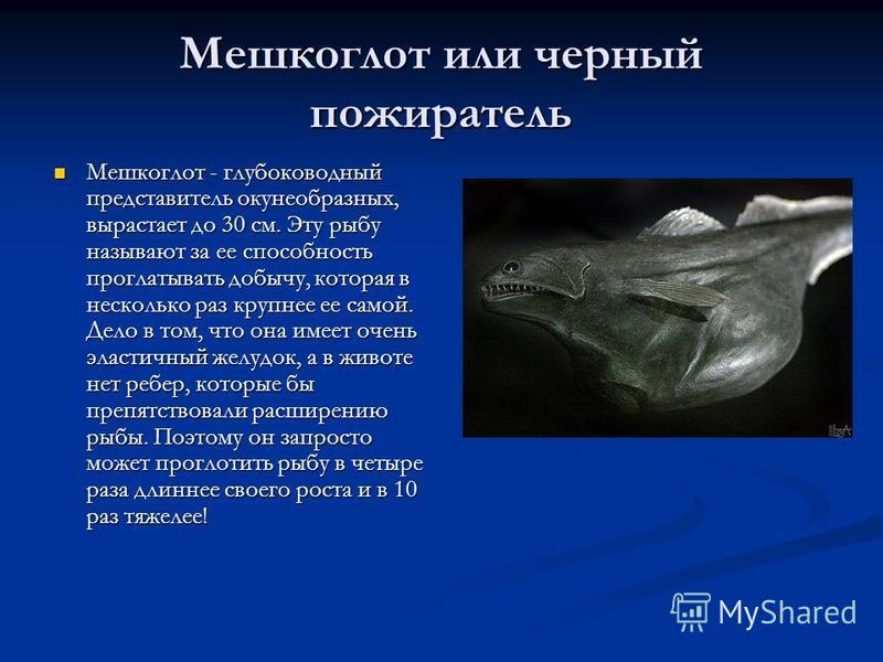 Мешкоглот или черный пожиратель Мешкоглот - глубоководный представитель окунеобразных, вырастает до 30 см. Эту рыбу называют за ее способность проглатывать добычу, которая в несколько раз крупнее ее самой. Дело в том, что она имеет очень эластичный ж