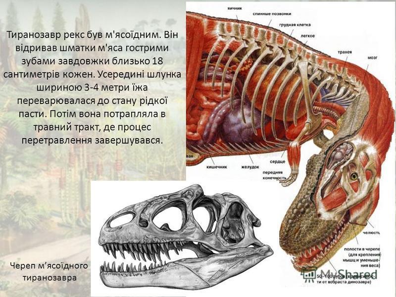 Череп мясоїдного тиранозавра Тиранозавр рекс був м'ясоїдним. Він відривав шматки м'яса гострими зубами завдовжки близько 18 сантиметрів кожен. Усередині шлунка шириною 3-4 метри їжа переварювалася до стану рідкої пасти. Потім вона потрапляла в травни