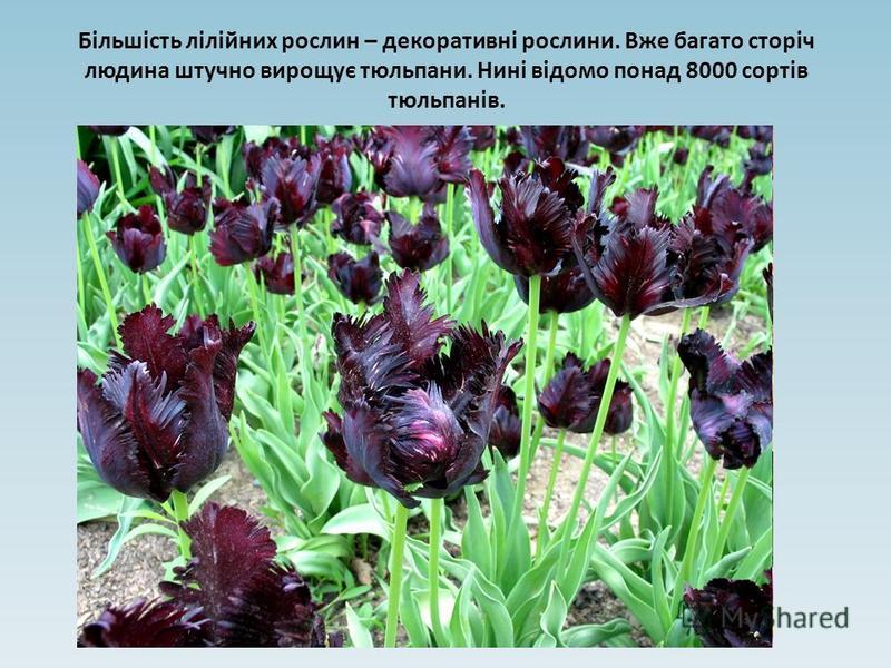 Більшість лілійних рослин – декоративні рослини. Вже багато сторіч людина штучно вирощує тюльпани. Нині відомо понад 8000 сортів тюльпанів.