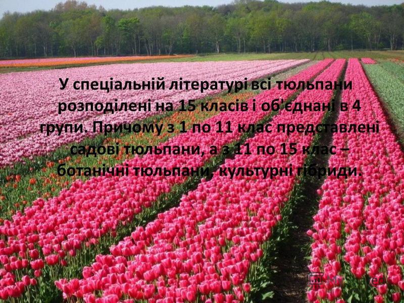 У спеціальній літературі всі тюльпани розподілені на 15 класів і об'єднані в 4 групи. Причому з 1 по 11 клас представлені садові тюльпани, а з 11 по 15 клас – ботанічні тюльпани, культурні гібриди.