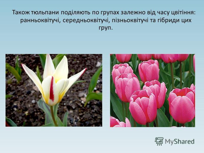 Також тюльпани поділяють по групах залежно від часу цвітіння: ранньоквітучі, середньоквітучі, пізньоквітучі та гібриди цих груп.