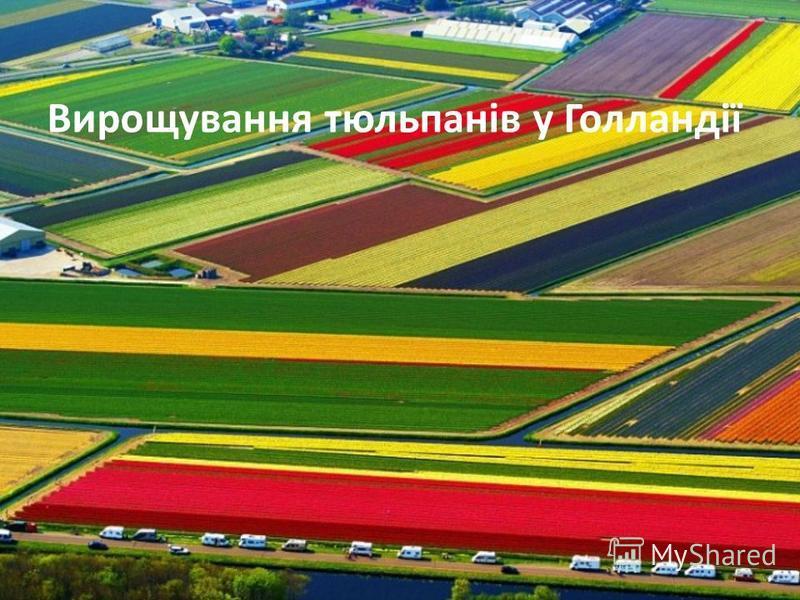 Вирощування тюльпанів у Голландії