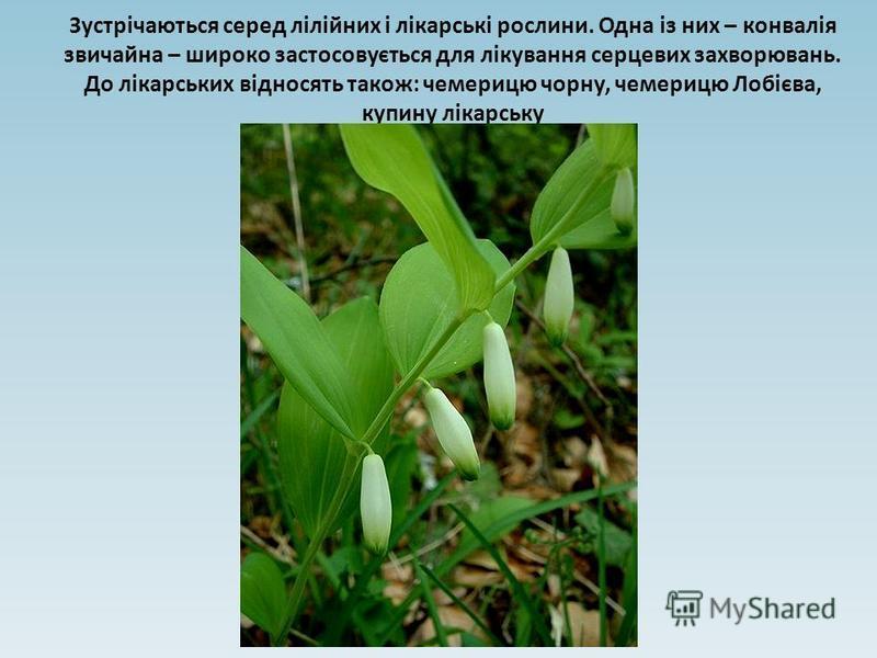 Зустрічаються серед лілійних і лікарські рослини. Одна із них – конвалія звичайна – широко застосовується для лікування серцевих захворювань. До лікарських відносять також: чемерицю чорну, чемерицю Лобієва, купину лікарську