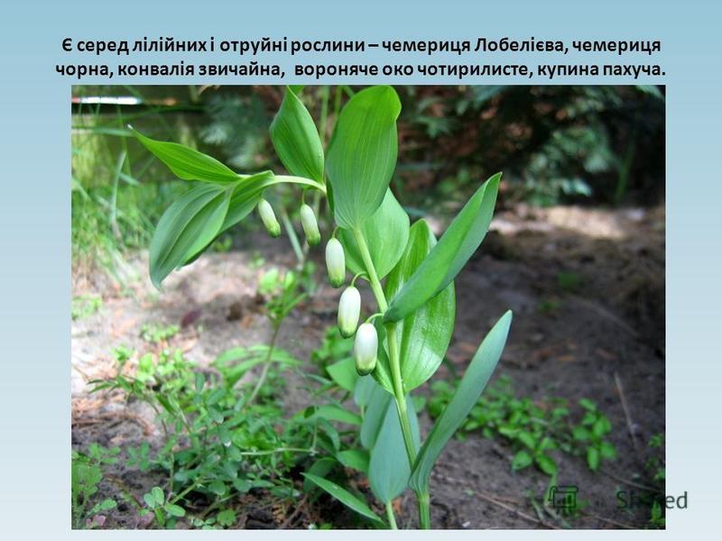 Є серед лілійних і отруйні рослини – чемериця Лобелієва, чемериця чорна, конвалія звичайна, вороняче око чотирилисте, купина пахуча.