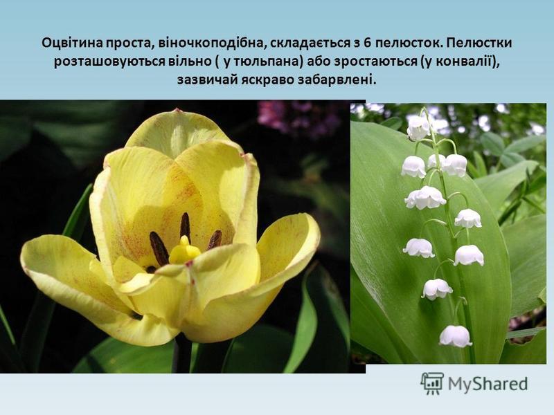 Оцвітина проста, віночкоподібна, складається з 6 пелюсток. Пелюстки розташовуються вільно ( у тюльпана) або зростаються (у конвалії), зазвичай яскраво забарвлені.