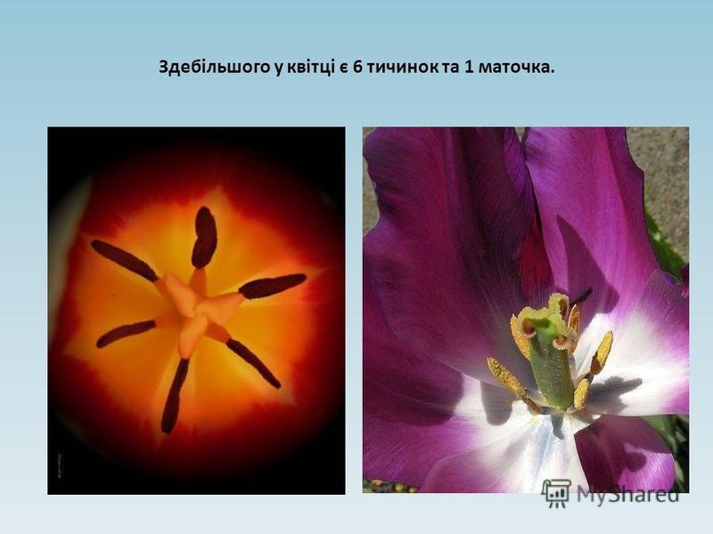 Здебільшого у квітці є 6 тичинок та 1 маточка.