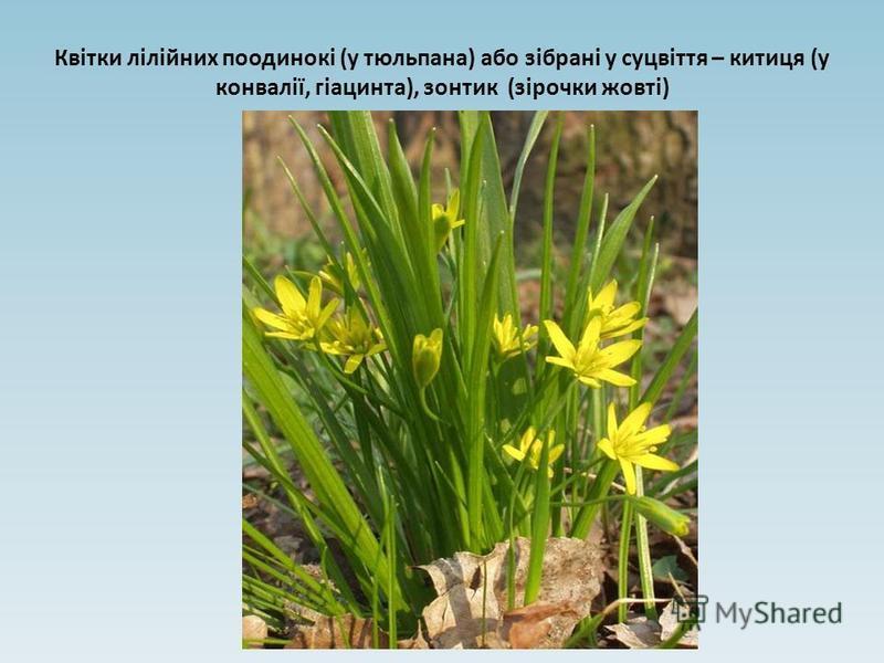 Квітки лілійних поодинокі (у тюльпана) або зібрані у суцвіття – китиця (у конвалії, гіацинта), зонтик (зірочки жовті)