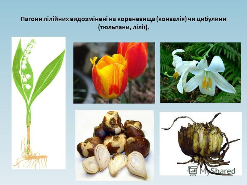 Пагони лілійних видозмінені на кореневища (конвалія) чи цибулини (тюльпани, лілії).