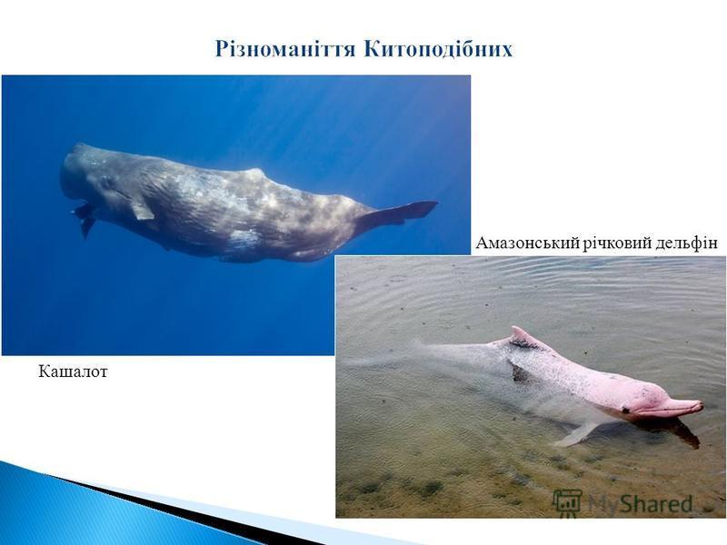 Амазонський річковий дельфін Кашалот