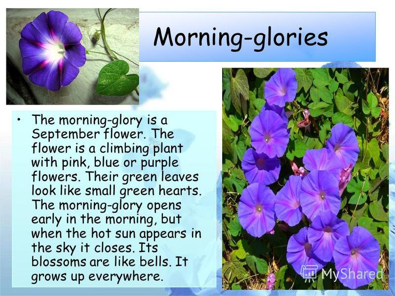 Morning-glories The morning-glory is a September flower. The flower is a climbing plant with pink, blue or purple flowers. Their green leaves look like small green hearts. The morning-glory opens early in the morning, but when the hot sun appears in
