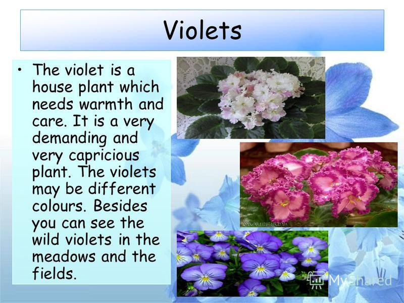 Violets The violet is a house plant which needs warmth and care. It is a very demanding and very capricious plant. The violets may be different colours. Besides you can see the wild violets in the meadows and the fields.
