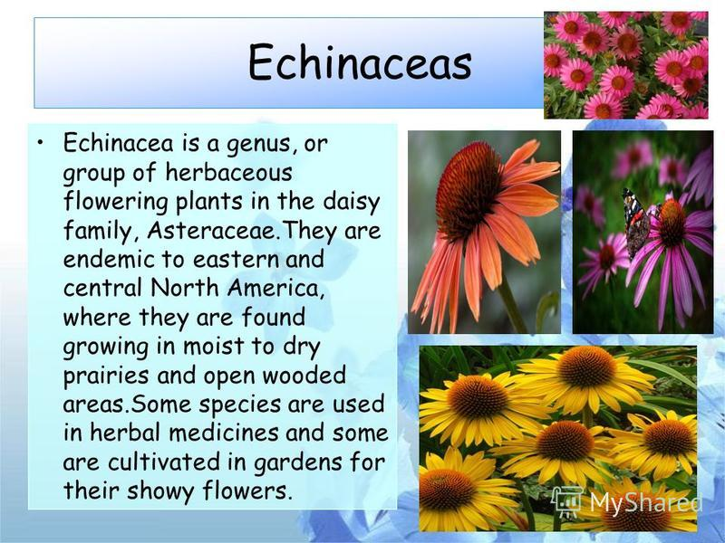 Echinaceas Echinacea is a genus, or group of herbaceous flowering plants in the daisy family, Asteraceae.They are endemic to eastern and central North America, where they are found growing in moist to dry prairies and open wooded areas.Some species a