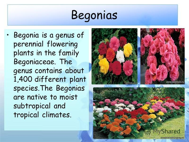 Begonias Begonia is a genus of perennial flowering plants in the family Begoniaceae. The genus contains about 1,400 different plant species.The Begonias are native to moist subtropical and tropical climates.