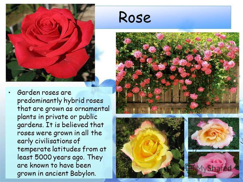 Rose Garden roses are predominantly hybrid roses that are grown as ornamental plants in private or public gardens. It is believed that roses were grown in all the early civilisations of temperate latitudes from at least 5000 years ago. They are known