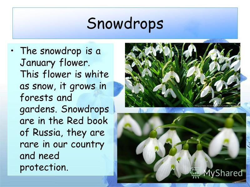 Snowdrops The snowdrop is a January flower. This flower is white as snow, it grows in forests and gardens. Snowdrops are in the Red book of Russia, they are rare in our country and need protection.