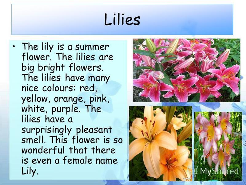 Lilies The lily is a summer flower. The lilies are big bright flowers. The lilies have many nice colours: red, yellow, orange, pink, white, purple. The lilies have a surprisingly pleasant smell. This flower is so wonderful that there is even a female